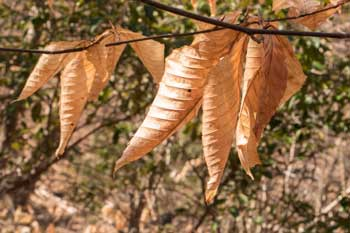 Beech Tree Leaves Holding on in Winter