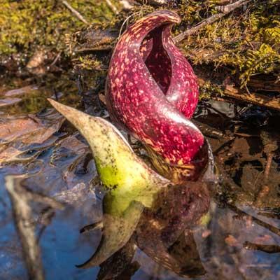 Skunk Cabbage Spathe