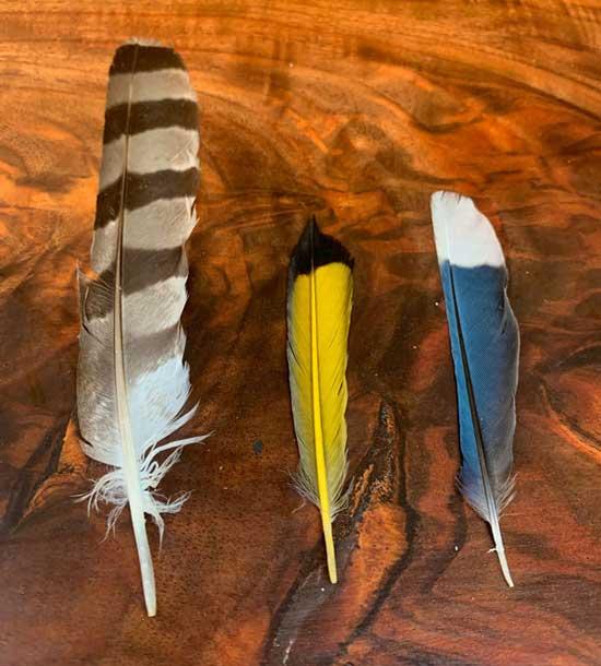 Three feathers; Cooper's Hawk, Northern Flicker, Blue Jay