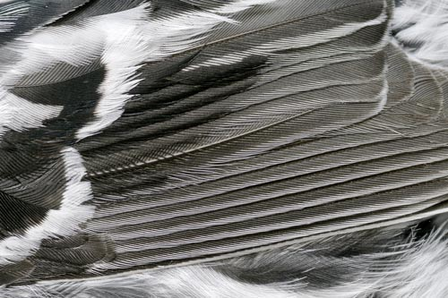 Detail of feathers of a Black and White Warb;er